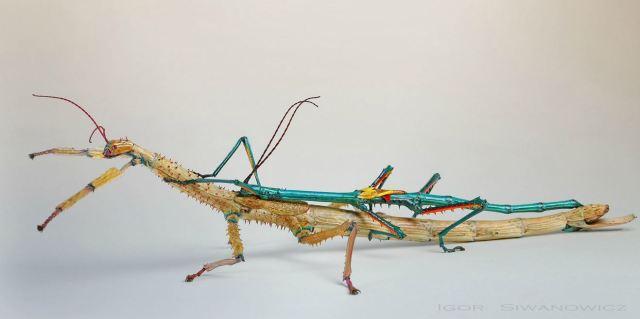 Achrioptera_fallax_blog_arthropodus