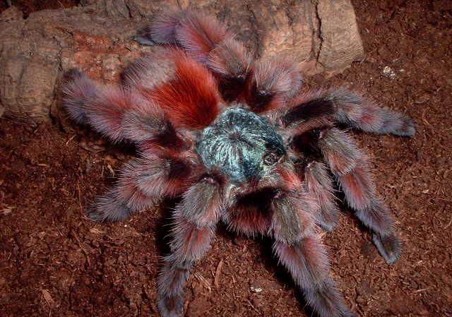 caribena_avicularia_versicolor_blog_arthropodus