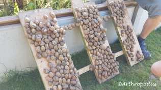 Escargots matures