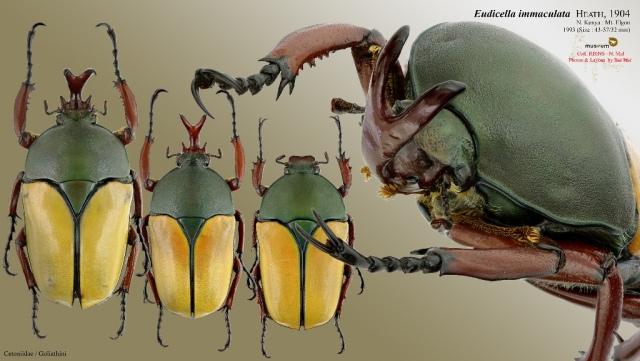 eudicella_immaculata_blog_arthropodus