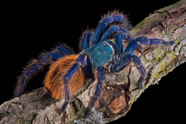 GBB-tarantula_chromatopelma_cyaneopubescens_blog_arthropodus