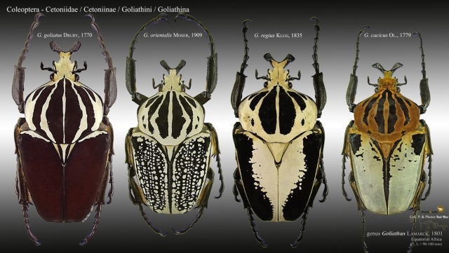 goliathus_blog_arthropodus