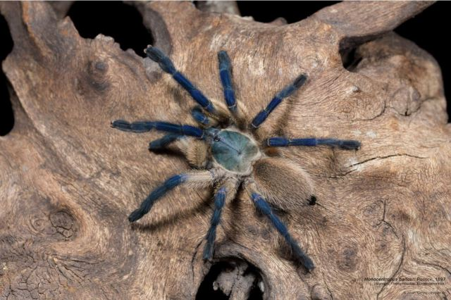 monocentropus_balfouri_blog_arthropodus