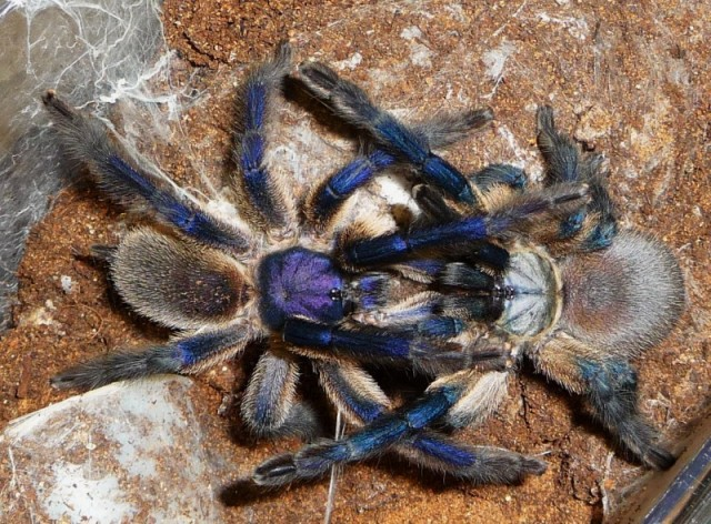 Monocentropus_balfouri_blog_arthropodus_