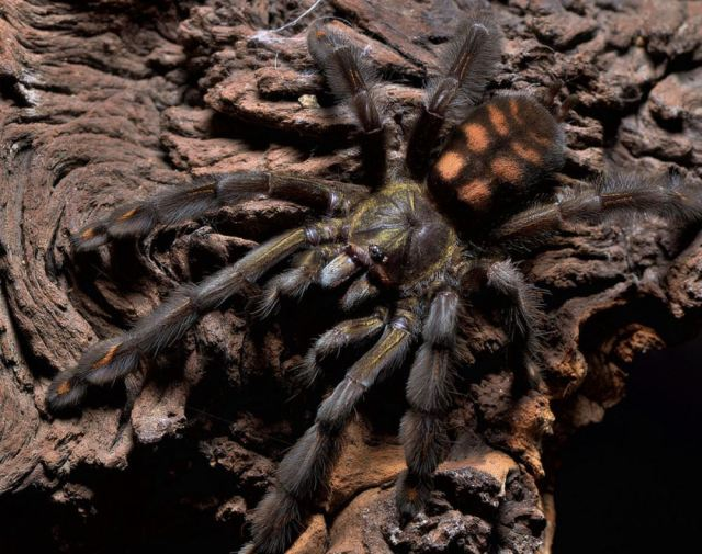 Psalmopoeus_irminia_blog_arthropodus