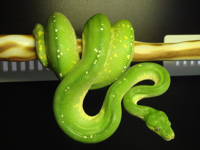 morelia_viridis_python_vert_blog_arthropodus_13