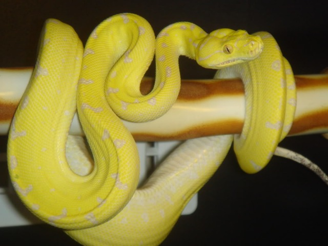 morelia_viridis_python_vert_blog_arthropodus_14