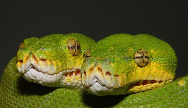 morelia_viridis_python_vert_blog_arthropodus_19