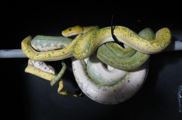 morelia_viridis_python_vert_blog_arthropodus_20