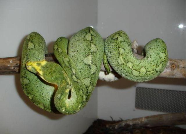 morelia_viridis_python_vert_blog_arthropodus_21