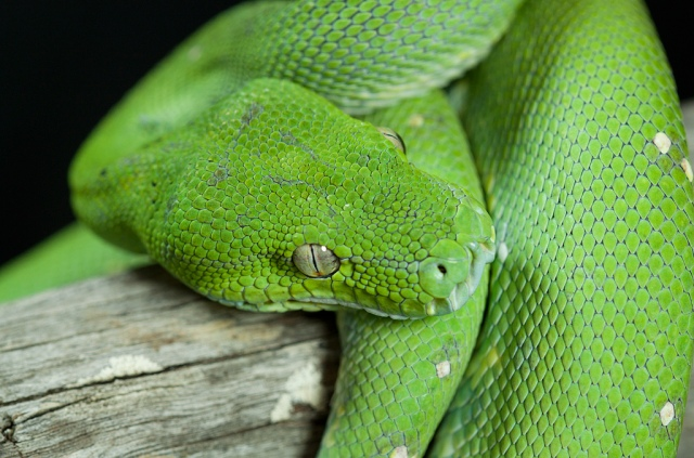morelia_viridis_python_vert_blog_arthropodus_24