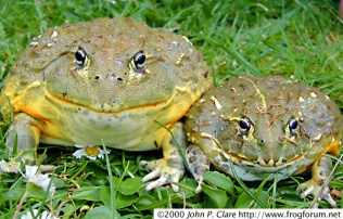 grenouille_taureau_pyxicephalus_adspersus_blog_arthropodus_2