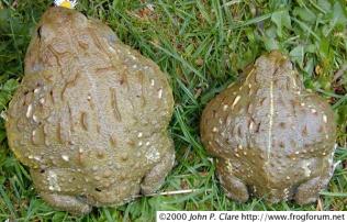 grenouille_taureau_pyxicephalus_adspersus_blog_arthropodus_3